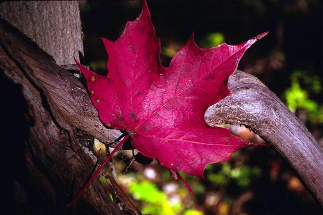 red-leaf-opt